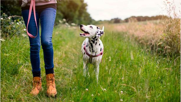 Woman walking a dalmatian