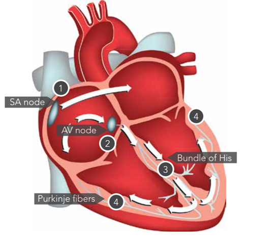 Detailed heart illustration v2