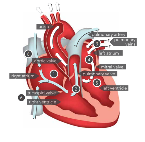 Detailed heart illustration