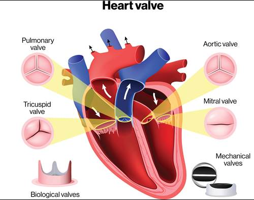Heart Valve Illustration