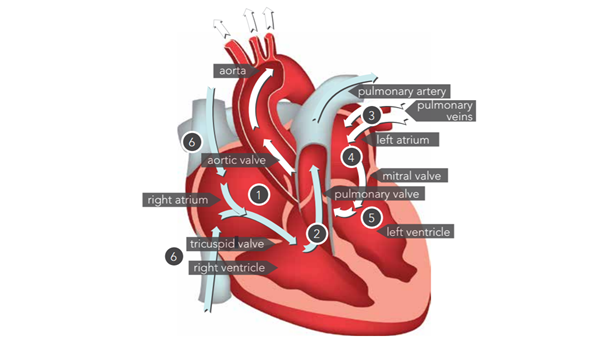 <p>How the blood flows through the heart</p><p> </p>