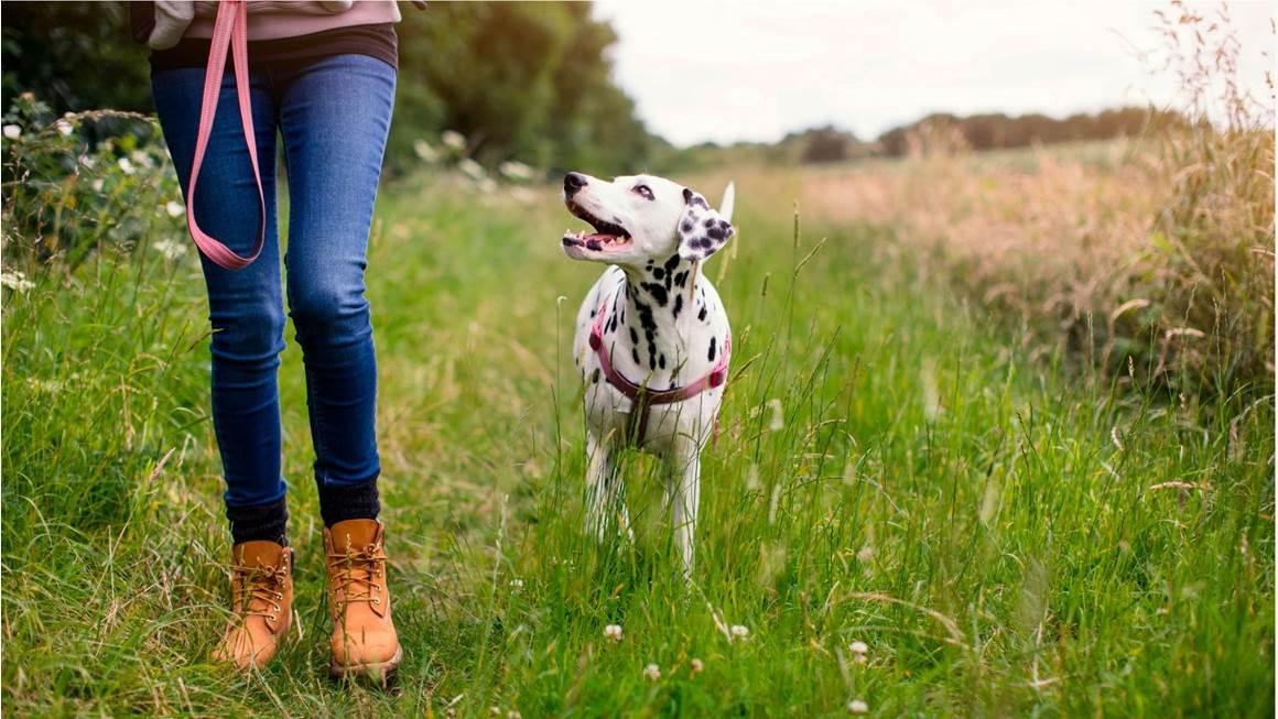 Woman walking a dalmatian