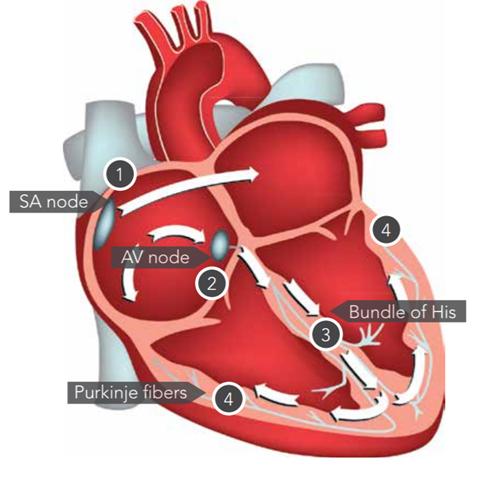 Detailed heart illustration v2