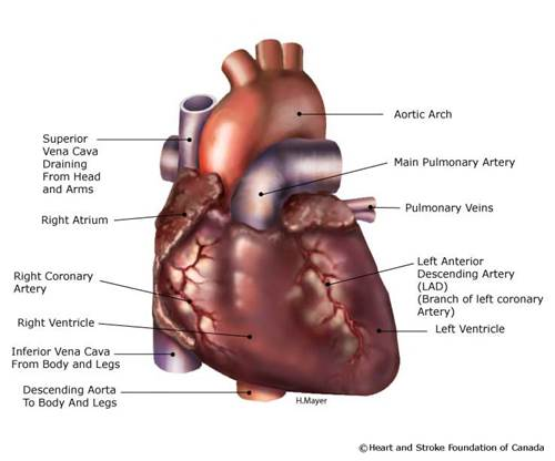 Diagram of the heart showing the different atriums, arteries and ventricles.