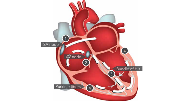 <p>The heart's electrical system</p><p> </p>